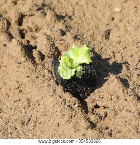 Small Delicate Lettuce Sprout On Sandy Soil Symbol Of Life And Rebirth