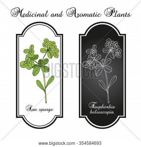 Sun Or Wart Spurge Euphorbia Helioscopia , Or Umbrella Milkweed And Madwomans Milk, Medicinal Plant.