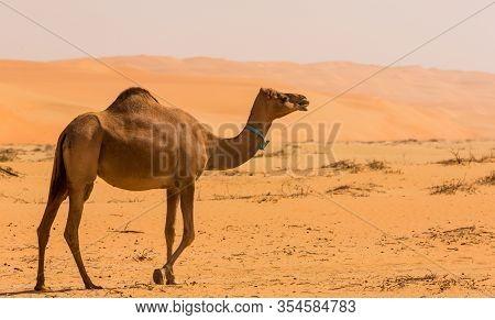 Camels  In The Liwa Desert, Abu Dhabi, Uae