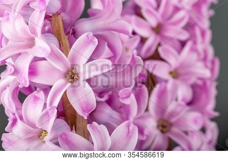 Pink Geocinth Flowers On A Gray Background.