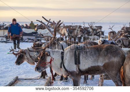 The Extreme North, Yamal Peninsula,   Reindeer In Tundra , Deer Harness With Reindeer, Pasture Of Ne