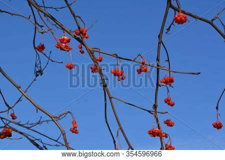 Branches With Red Berries Of European Rowan (sorbus Aucuparia) Against Clear Blue Sky.