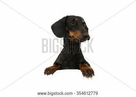 Dachshund Dog  With Paws Over Black Edge. Looking Side Tilting Head Side. Isolated On White Backgrou