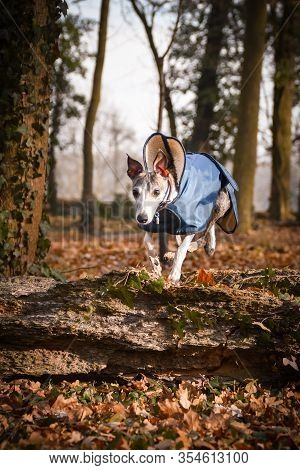 Jung Female Dog Of Whippet. She Is Jumping Over The Trunk. Autumn Photoshooting In The Park.