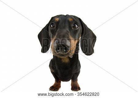 Funny Dachshund Dog Drooling. Isolate On White Background.