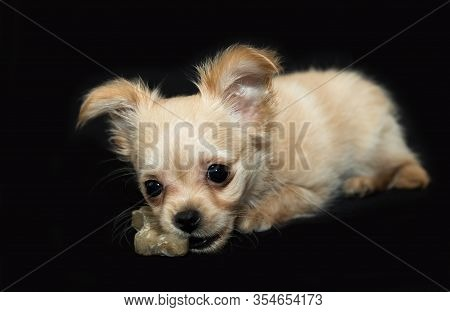 Beige Puppy With Dog Chew Toy On Black Background.