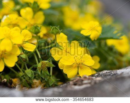 Yellow Flowers Of Potentilla Reptans ( Creeping Cinquefoil, European Cinquefoil) Plant Blooming In S