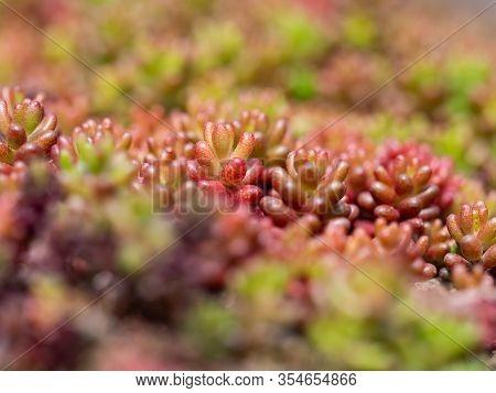 Sedum Album, White Stonecrop, Plant Of The Genus Sedum With Colorful Leaves Red, Green, Natural Back