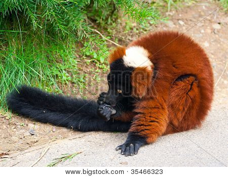 A close up of the rare red ruffed lemur (Varecia rubra) from the island of madagascar