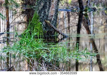 Green Grass Growing In Swamp Water. Wetlands And Swamps In The Forest.