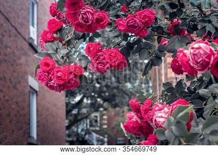 Flaming Red Roses Blooming In Front Of Brick Buildings. Springtime In The City.