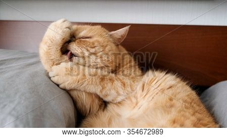 Cat Grooming Itself, Licking Paws. Big Fluffy Exotic Shorthair Cat With Ginger Fur