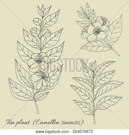 Tea Collection. Hand Drawn Tea Plant Camellia Sinensis