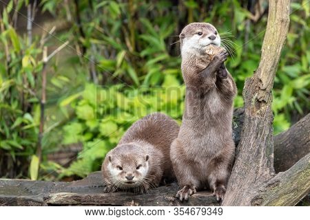 Two attentive Oriental small-clawed otters, Aonyx cinereus, one crouched and the other is upright on his hind legs. The upright otter is juggling with a stone. Over green bamboo and foliage background