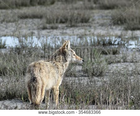 Beautiful Valley Coyote Portrait Of Coyote Hunting In A Wetland In Northern California