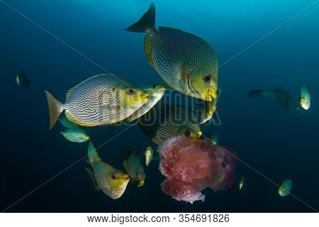 Rabbitfish fish eating jellyfish underwater