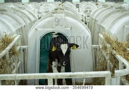 Calves On A Livestock Farm. Young Calves Are Quarantined In Separate Plastic Cages.