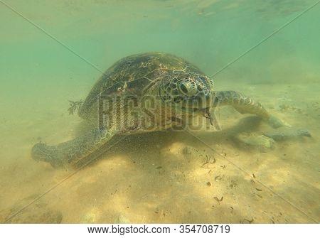Sea Olive Turtle Cose-up Over Sand Bottom. Hikkaduva, Sri Lanka