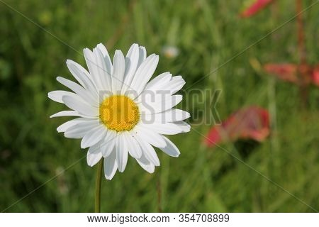 Picture Of Oxeye Daisy Herb. Herbal Medicine, Tea And Infusion, Natural Cosmetics Ingredient. Ecolog