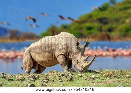 Rhinoceros On A Background Of Pink Flamingos In Nakuru National Park, Kenya. Big Animal In The Habit