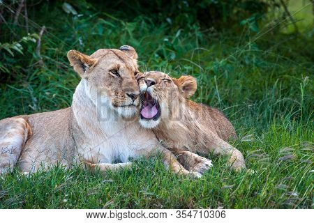 Two Lions In The Grass Of The National Park Of Kenya