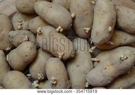 A Pile Of Seed Potatoes. Potato Sprouts Background. Group Of Sprouted Potatoes. Agriculture And Farm
