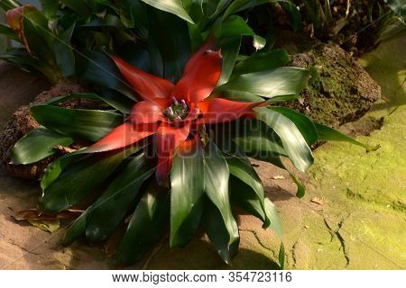 Red Bromeliad With Tiny Lavender-colored Petals In Greenhouse, Bromeliaceae With Deep Red Rosette
