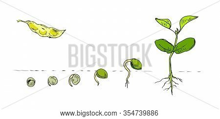 Legume Crops Hand Drawn In Line Art Style Isolated On White. Phases Plant Growing. Seeds Sprouts In