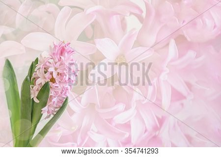 Pink Hyacinth Flower Close-up On Tender Background Of The Delicate Flower Petals, Minimalism. Copy S