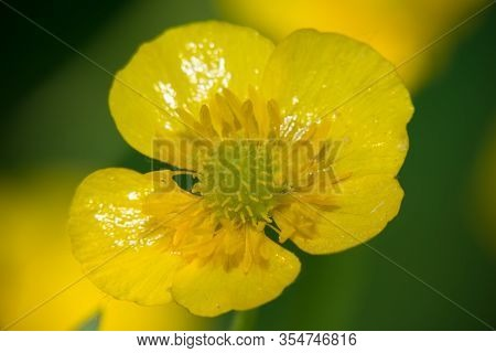 Little Yellow Flower. Blooming Cinquefoil Erect (galangal)