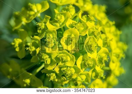 Sprigs Of Bright Yellow Flowers Of Spurge In The Blurred Green Background