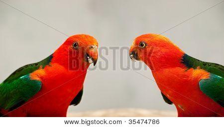 Australian King Parrot Alisterus scapularis Close Up