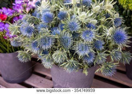 Basket Full Of Eryngium Amethystinum Or Amethyst Eryngo Or Amethyst Sea Holly Herb At The Counter Of