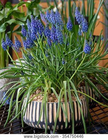 Potted Blue Muscari Armeniacum Known As Grape Hyacinth Or Armenian Grape Hyacinth Or Garden Grape-hy