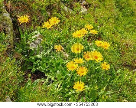 Group Of Flowering Arnica Montana Also Known As Mountain Tobacco Or Mountain Arnica Growing On Slope