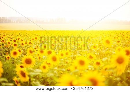 Sunflower Field At Sunset. Field Of Blooming Sunflowers On A Background Sunset