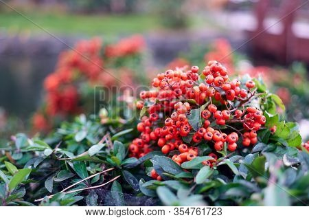 Close Up Bush Of Red Berries. Branch Of Rowanberries.