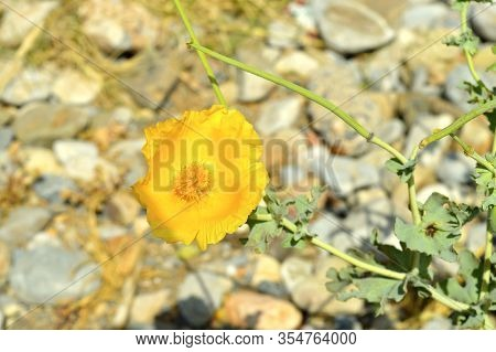 Yellow Horned Poppy Latin Name Glaucium Flaviium, Plant Flowering Growing In Shingle On Goves Beach