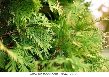 Green Cypress Branches Close Up. Juniper Leaves.