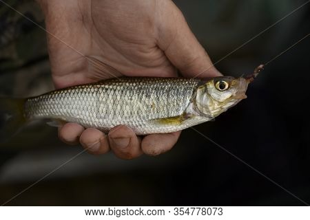 The Common Dace (leuciscus Leuciscus) With The Fishhook In Its Mouth Is In Male Hand.