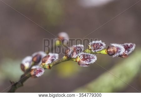 Spring Flowering Branches Of Willow. Floral Background With Pussy Willow In Bloom. Willow Twigs With