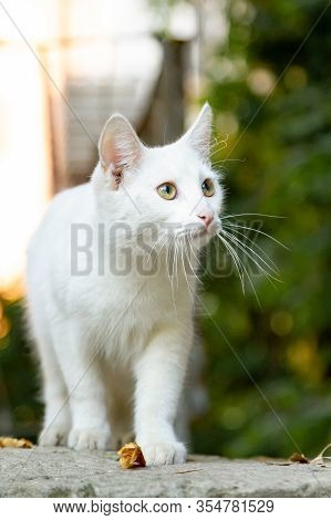 Sad Homeless White Cat On The Street Of The Old City On A Summer Day. The Concept Of Taming, Pity, C