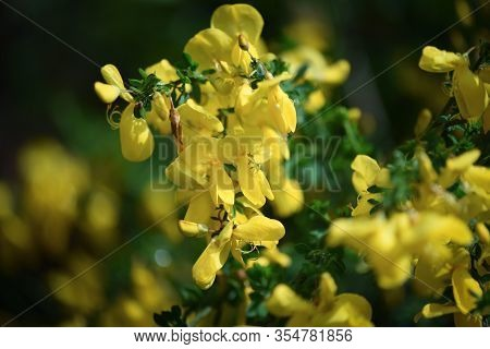 Scotch Broom Is A Perennial, Leguminous Shrub. Wild Plant With Yellow Flowers.