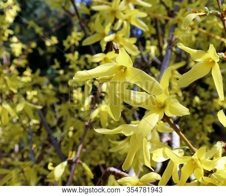 Yellow Blooming Forsythia Flowers In Spring Close Up.it Is An Ornamental Deciduous Shrub Of Garden O