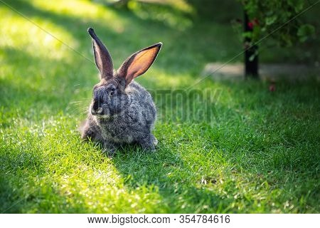 Cute Adorable Grey Fluffy Rabbit Sitting On Green Grass Lawn At Backyard. Small Sweet Bunny Sitting