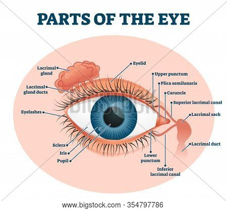 Parts Of The Eye, Labeled Vector Illustration Diagram. Educational Beauty And Nursing Information. E