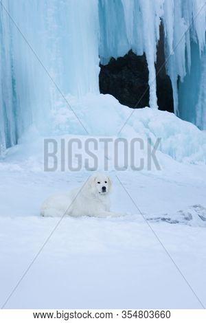 Beautiful Maremmano Abruzzese Dog O Lying In Front Of Icefall. Maremma Dog Is Lying On The Snow. Big