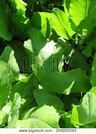 Fresh Leaves From Tanacedum Balsamita (costmary) Plant In A Garden