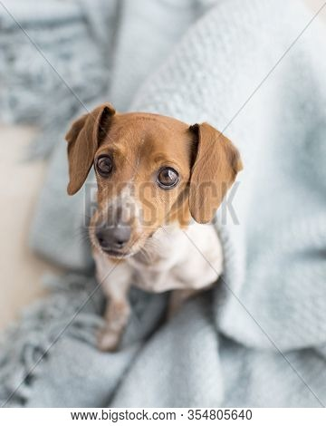 Adorable Brown And White Smiling Weiner Dog Dachshund Looks At The Camera And Cuddles In A Blue Blan