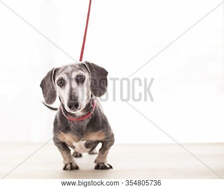 Comical Old Dachshund Waits On His Red Leash In Front Of A Bright Diffused Window Anxious To Go Out